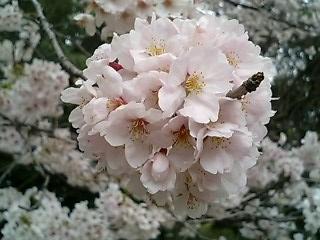 Sakura2010